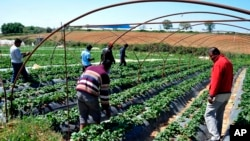 FILE - Immigrant workers walk at a strawberry plantation near the village of Manolada about 260 kilometers (160 miles) west of Athens, April 18, 2013.