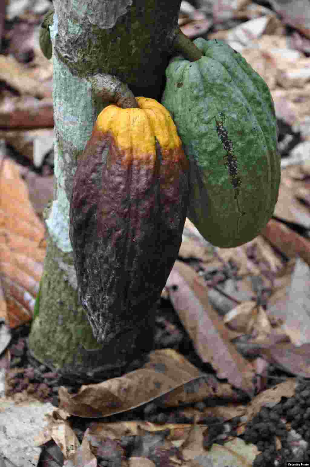 Pod of cocoa plant with black pod infection (left) next to a normal pod (right) (World Cocoa Foundation)