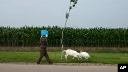 지난 2013년 6월 북한 황해남도 신원에서 한 주민이 염소를 몰고 있다. (자료사진)