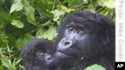Protecting Mountain Gorillas
