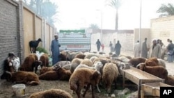 Lambs for sale ahead of Eid in Cairo's City of the Dead, Cairo, Egypt, 25 Nov 2009