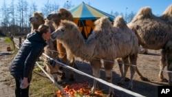 Sarina Renz mencium salah satu dari delapan unta Siberia Renz Circus, yang tidak bisa tampil akibat wabah corona dan terdampar di kawasan Dratchen, Belanda, 31 Maret 2020.