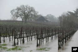 A vineyard is flooded in the Russian River Valley in Windsor, California, Jan. 10, 2017.