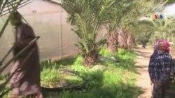 Fələstin fermerlərinə badam ağacları paylanır