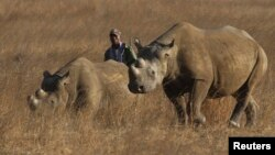 FILE: A ranger walks behind a pair of black rhinoceros at the Imire Rhino and Wildlife Conservation Park near Marondera, east of the capital Harare, September 22, 2014.