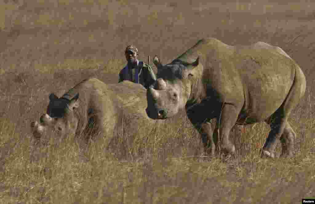 Rinocerantes num parque em Harare, Zimbabué