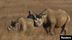 Un ranger marche derrière deux rhinocéros dans un parc protégé près de Marondera, à l'est de la capitale Harare, Zimbabwe, le 20 septembre 2014.