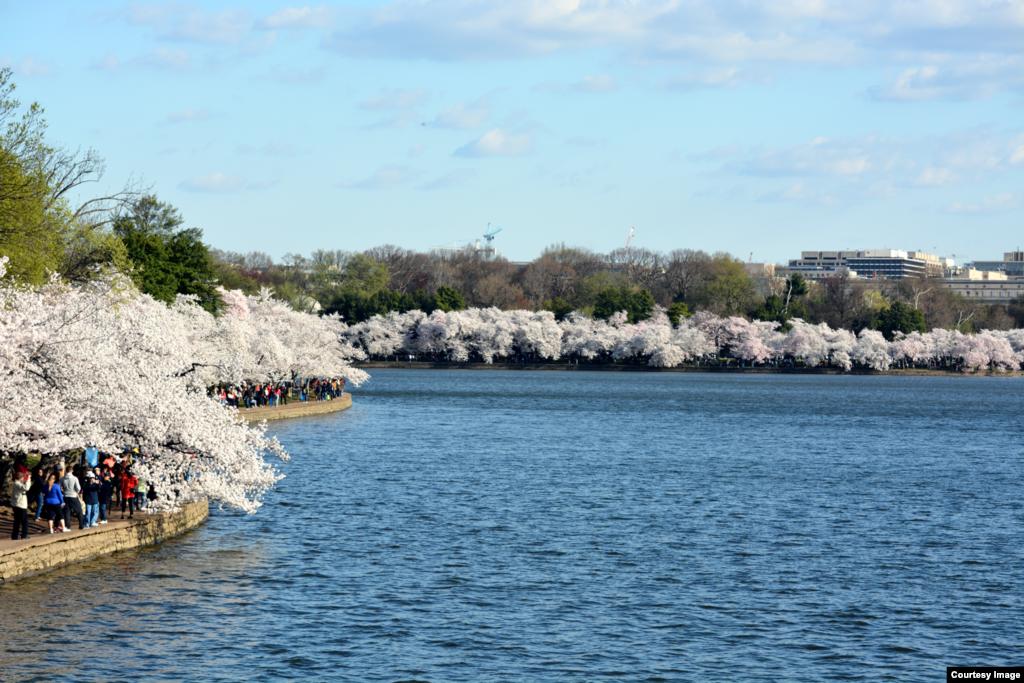شکوفههای درختان گيلاس در امتداد حوضه جزر و مدی در واشنگتن، دی سی.