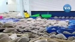 Texas: Cứu hàng ngàn rùa biển bị sốc lạnh