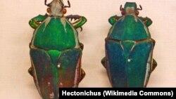 Spesies kumbang Mecynorrhina torquata dalam penelitian pengunaan 'remote control' di Museum Nasional Praha (Foto: Wikipedia).