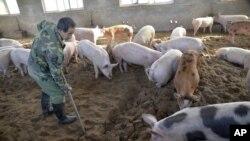 中国河北邯郸养猪场