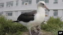 In this 2018 photo provided by the U.S. Fish and Wildlife Service is Wisdom, the world's oldest known breeding bird with a chick sits in a nest at the Midway Atoll National Wildlife Refuge and Battle of Midway National Memorial.