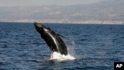 ARCHIVO- Una ballena jorobada cerca de Long Beach, California, 6-8-16.