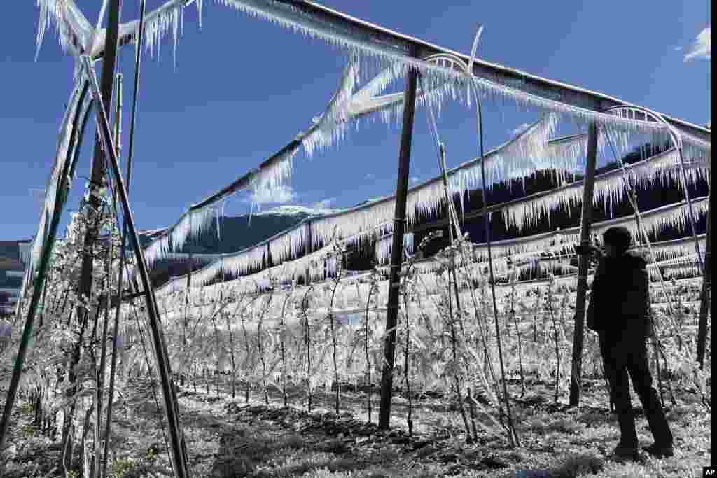 A man takes pictures of artificially frozen apple trees covered with melting ice near Bressanone, in northern Italian province of South Tyrol, Italy.