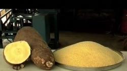 Khoai mì vàng giúp chống suy dinh dưỡng ở châu Phi