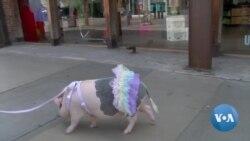 英语视频:洛杉矶宠物猪上街 意外获得市民宠爱
