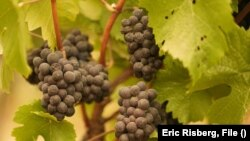 FILE - In this Sept. 10, 2020, file photo, grapes with ash on them hang in a vineyard that was blanketed by smoke from wildfires in Sonoma, Calififornia.