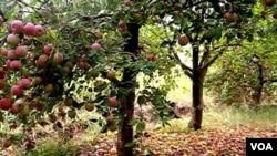 Apple from Kurdistan -Iraq Berwari Bala Region