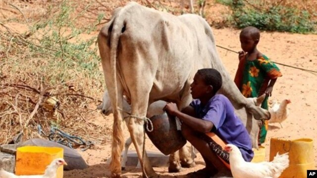 A Somali boy milks his cow outside his tent in Medina Xoosh district in Mogadishu (File Photo - January 12, 2011)