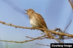 Nightingale singing on a tree branch