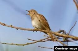 Nightingale singing on a tree branch
