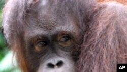 การทำงานเพื่ออนุรักษ์ลิงอุรังอุตังอาจช่วยลดก๊าซเรือนกระจกด้วย