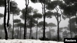 A pine forest is covered with snow during a storm in Jezzin, south Lebanon, Feb. 13, 2015.
