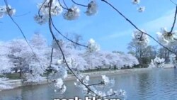 OMG! 美语 cherry blossoms!