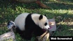 美国国家动物园的熊猫贝贝庆生(美国之音网页截图)