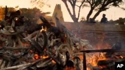 L'ivoire en train de brûler, ici au Cameroun.