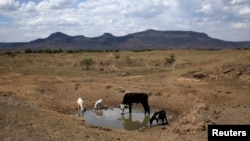 Livestock drink from a drying river outside Utrecht, a small town in the northwest of KwaZulu-Natal, South Africa, Nov. 8, 2015. Kenya and Uganda are bracing for floods, while South Africa and Malawi are already grappling with drought as a result of this year's strengthening El Niño weather phenomenon.