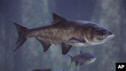 Ikan gurami Asia dulunya diimpor untuk memakan lumut di tambak-tambak ikan di Amerika, tetapi kini menghabiskan makanan ikan setempat (foto: dok.).