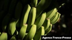 FILE - Detail of bananas at a plantation in Los Llanos de Aridane, on the Canary Island of La Palma, Oct. 4, 2021.