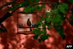 北京故宫路边: 树枝上的笼中小鸟(2015年5月3日)