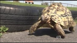 Fastest Tortoise, Biggest Cowboy Boots Newest World Record-holders
