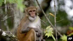 Los científicos hicieron sus estudios de la vacuna en monos Rhesus, que reaccionan a una infección de tuberculosis en forma muy parecida a los humanos.