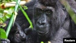 Un gorila Grauer y su cría en el parque Kahuzi-Biega en El Congo.