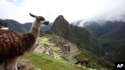 Llamas graze at Machu Picchu near Cusco, Peru.