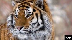 Популяция тигров в опасности