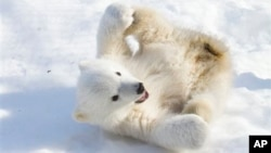 Este cachorro de oso polar, Kali, fue adoptado por el zoológico de Anchorage después de que un cazador mató a la madre