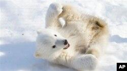 Esta zona de Alaska es hogar de especies en peligro de extinción como los osos polares.