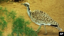 FILE - A houbara bustard, a favorite prey of falcons which faces extinction, is captivebred at a research center in Sweihan, United Arab Emirates.