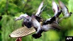 Hơn một nửa trong số những con chim bồ câu được thả trong dịp Ðại lễ 1000 năm Thăng Long đã chết, và nhiều con đã xuất hiện trên các bàn tiệc ở Việt Nam