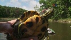 Tortugas invasoras amenazan ecosistemas