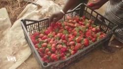 La première serre automatisée pour revitaliser l'agriculture malienne