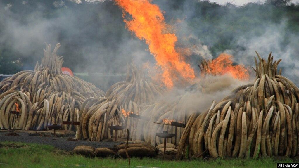 Một vụ tiêu hủy ngà voi. (Ảnh minh họa)