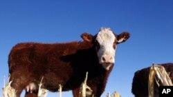 Cattle a farm near Jerome, Idaho.