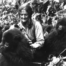 Dian Fossey plays with a group of young mountain gorillas in Rwanda's Virunga Mountains in central Africa in 1982