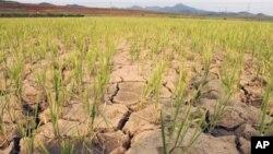 지난 22일 북한 황주군 룡천리에서 가뭄으로 갈라진 논.