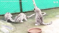 Playful Snow Leopard Cubs Unwind at Eastern India Zoo